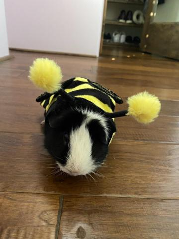 Rolanda the guinea pig keeps Fresh Avenue Western Sales Manager David Root busy as a bee.